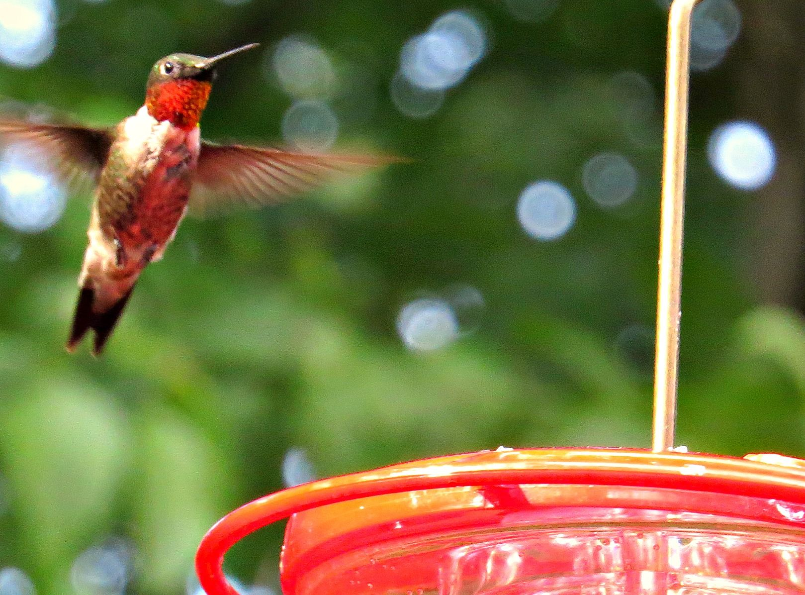 Ruby-throated Hummingbird (male): 31 July 2014, 4:50 p.m., Falls Church, VA (our backyard), 84 degrees, mostly sunny, calm