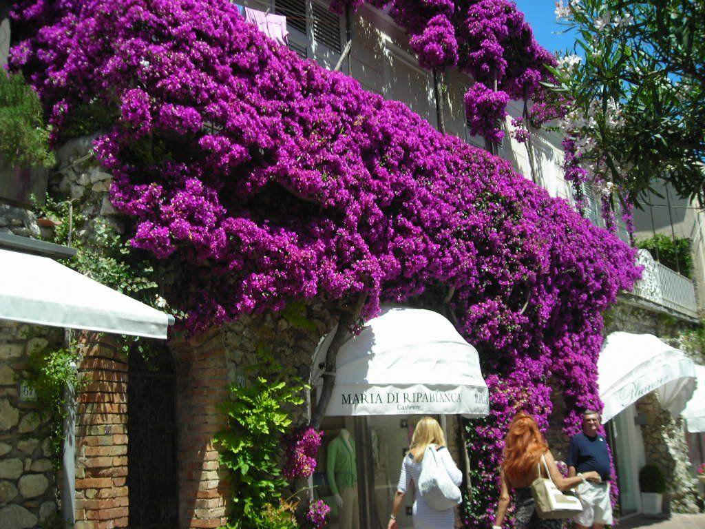 beauteous trees to plant near house. Anacapri bouganvillea 109 best Beauteous Bougainvillea images on Pinterest  Balconies