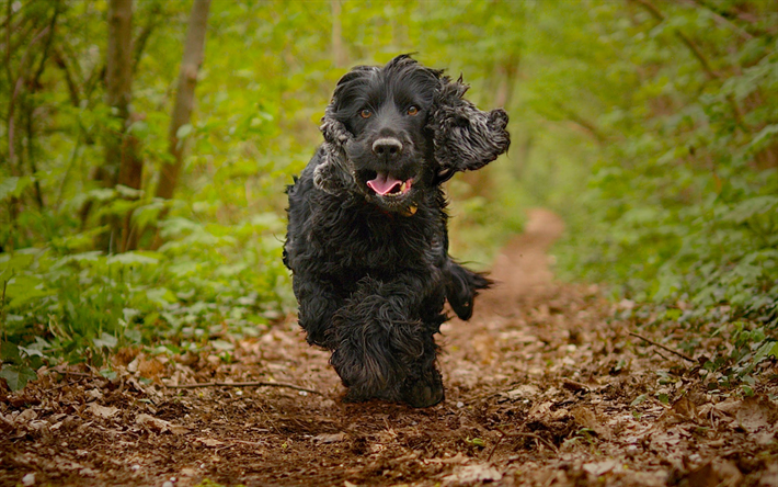 Download Wallpapers English Cocker Spaniel Running Dog Forest