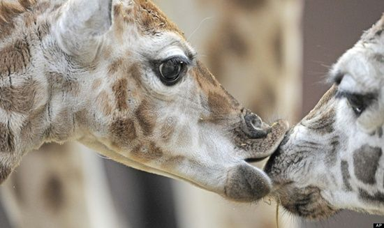 Germany Zoo Giraffe Baby