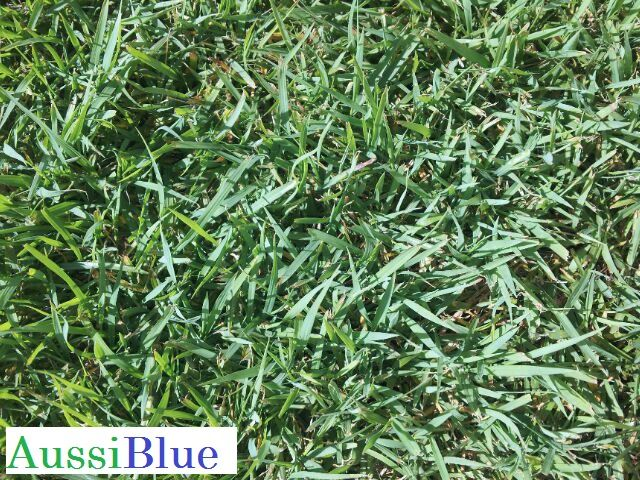 Aussiblue Blue Couch Is A Queensland Favorite It Has A Slight Blue