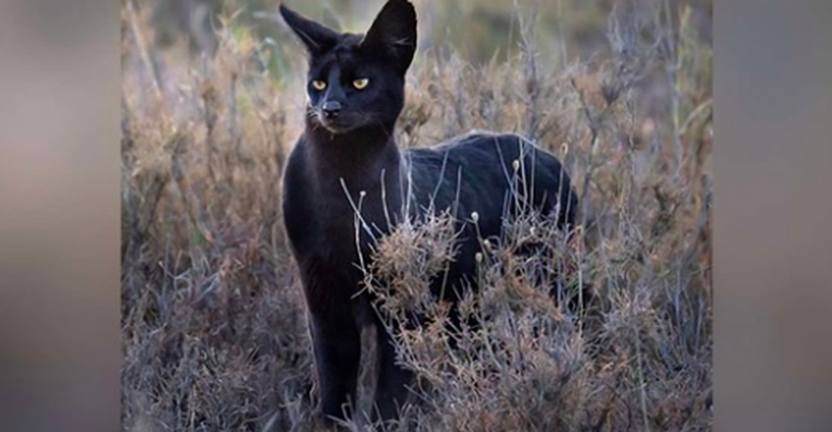 Photographer Captures Rare Black Wildcat On Film In Africa In 2020 Black Cat Wild Cats Feline