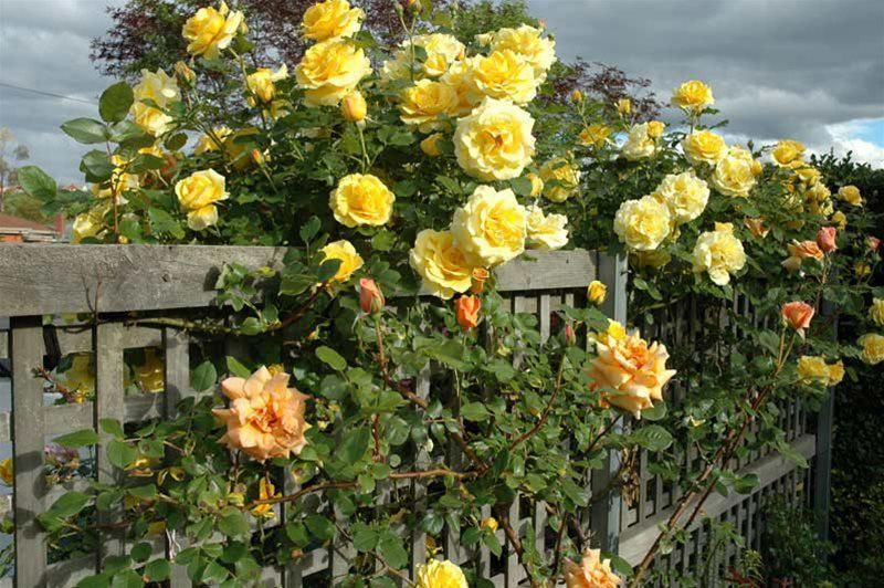 My rose covered fence