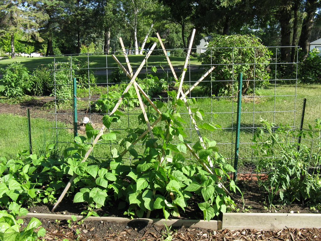 Pole Bean Supports How To Stake Up Pole Beans Pole Beans Bush Beans Planting Green Beans