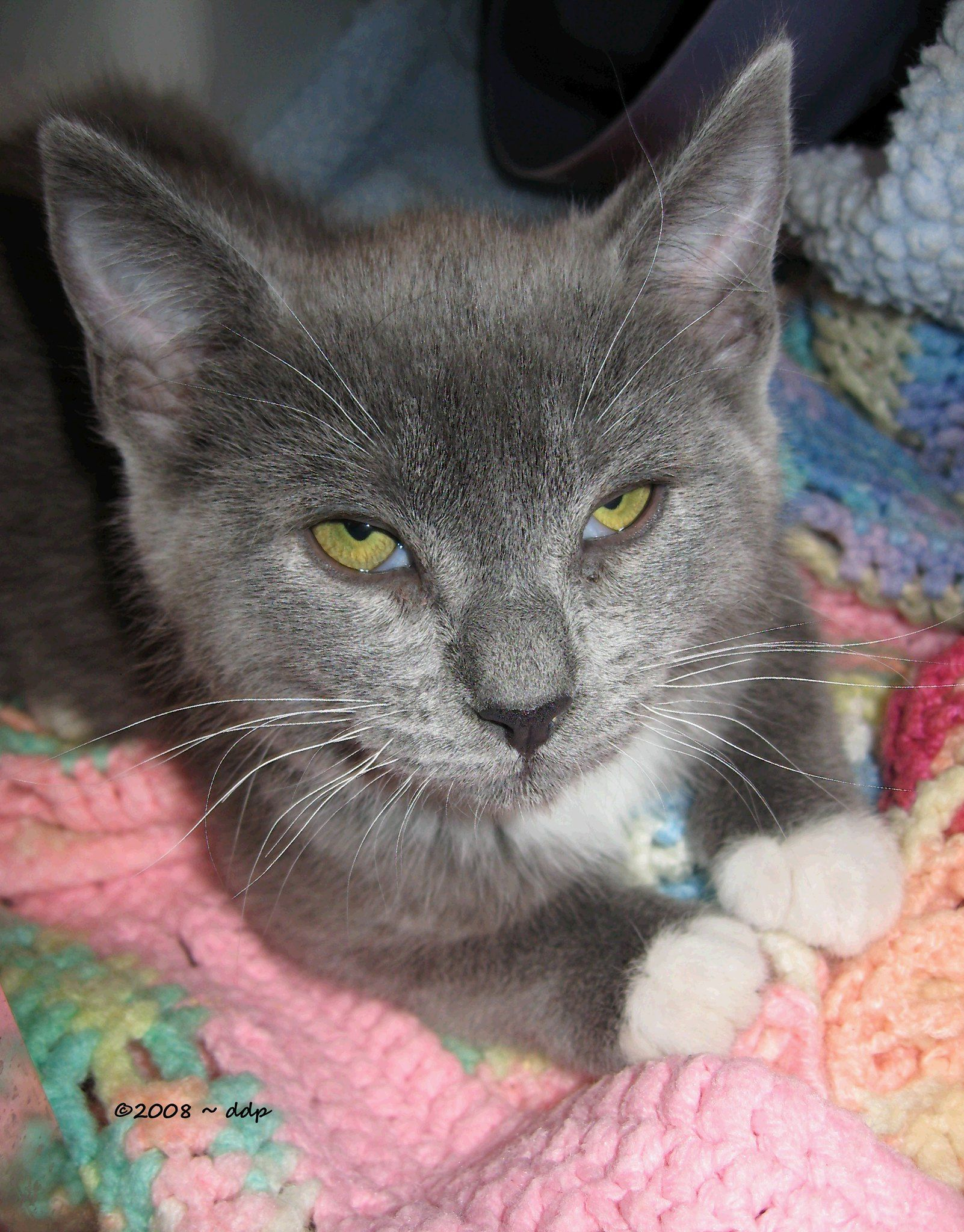 Sweet Gray Kitten with White Mittens & Lovely Colored