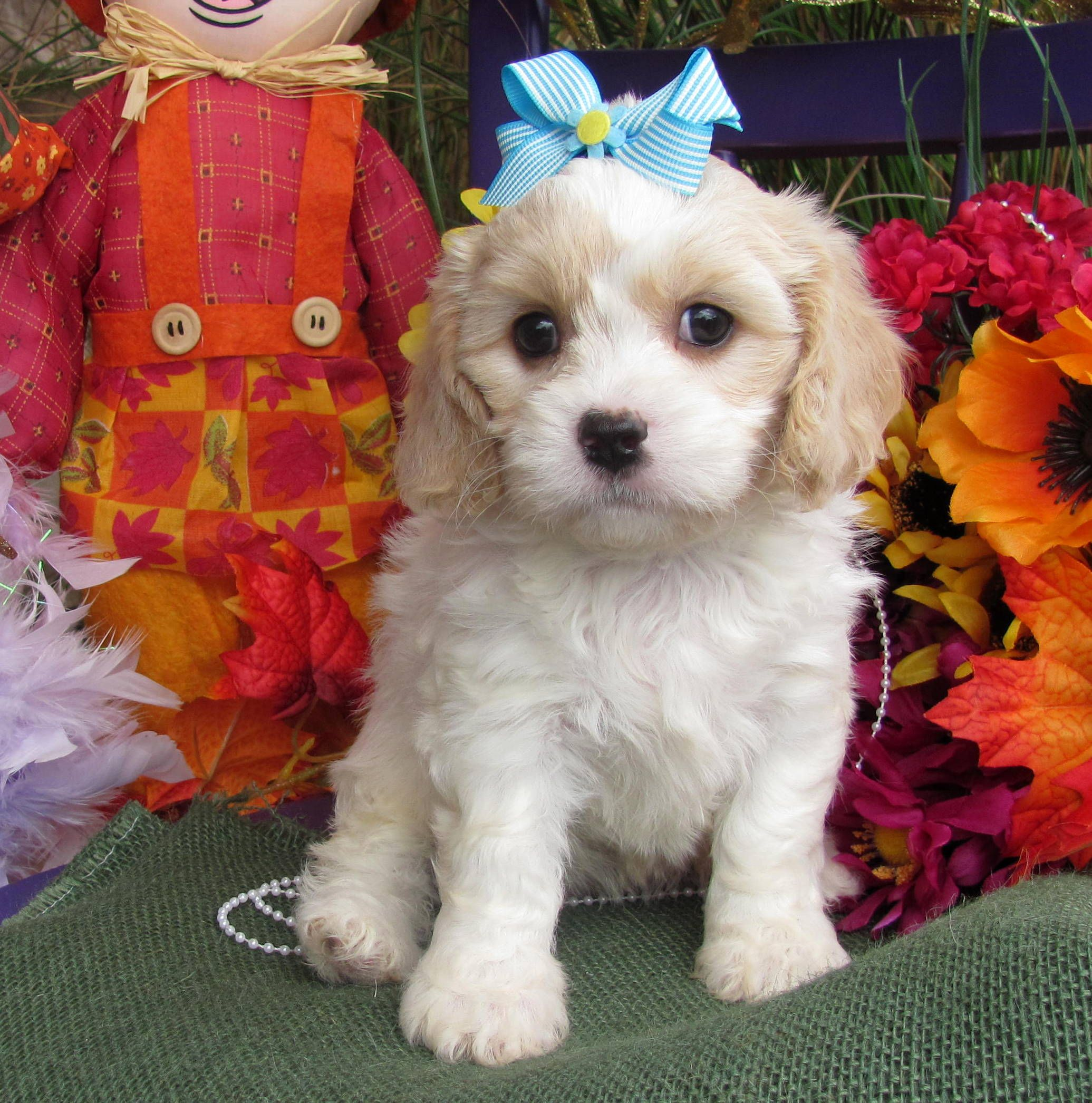 Www Cavachonsbydesign Com Cavachon Puppies For Sale Cavachon
