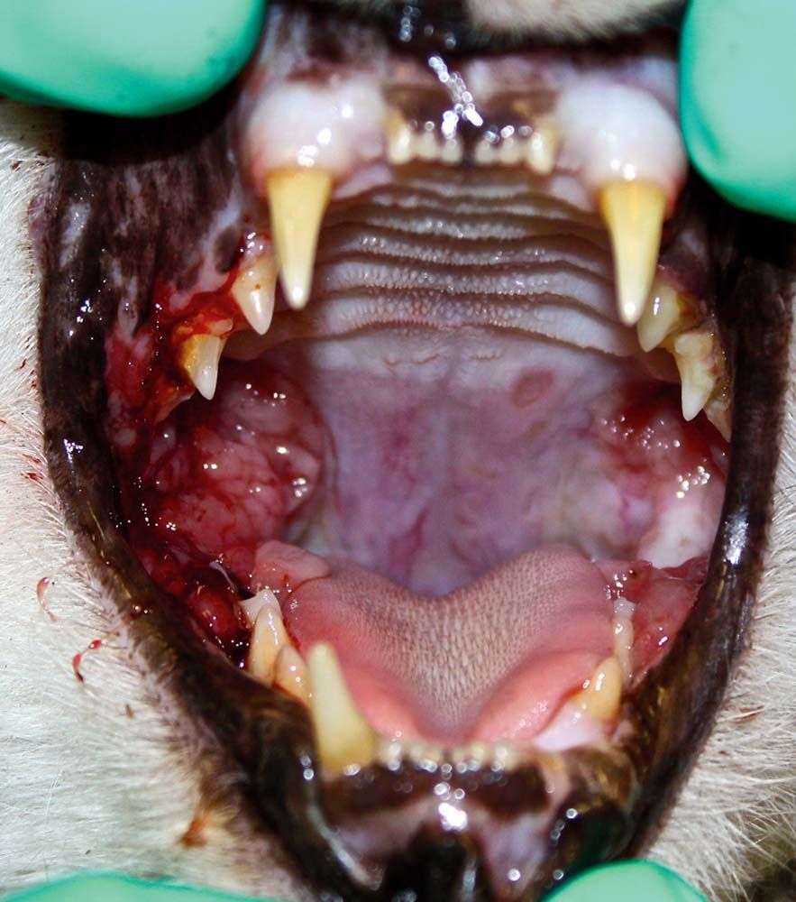 Why Teeth Removal is Best When Your Patient Has Feline