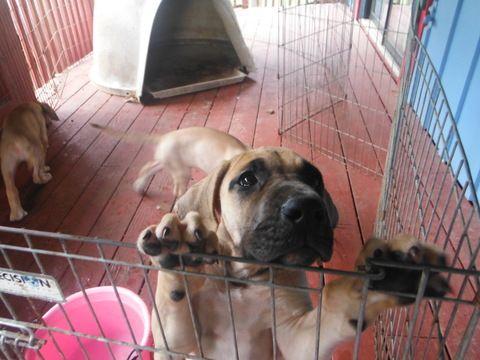 Great Dane Puppy For Sale In Blue Creek Oh Adn 44970 On