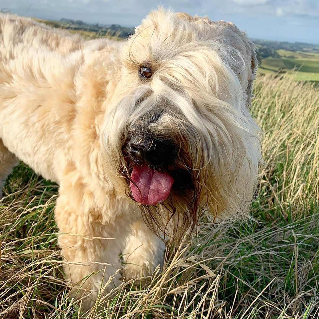 What is Canine Vestibular Syndrome Wheaten walks need to