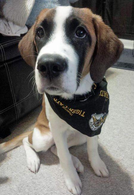 Sophie The Saint Bernard Mix Puppy Breed Beagle Saint