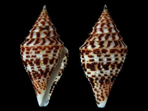 Conus andremenezi Biggs & Olivera, 2010 Mactan island, Cebu, Philippines., 38 mm