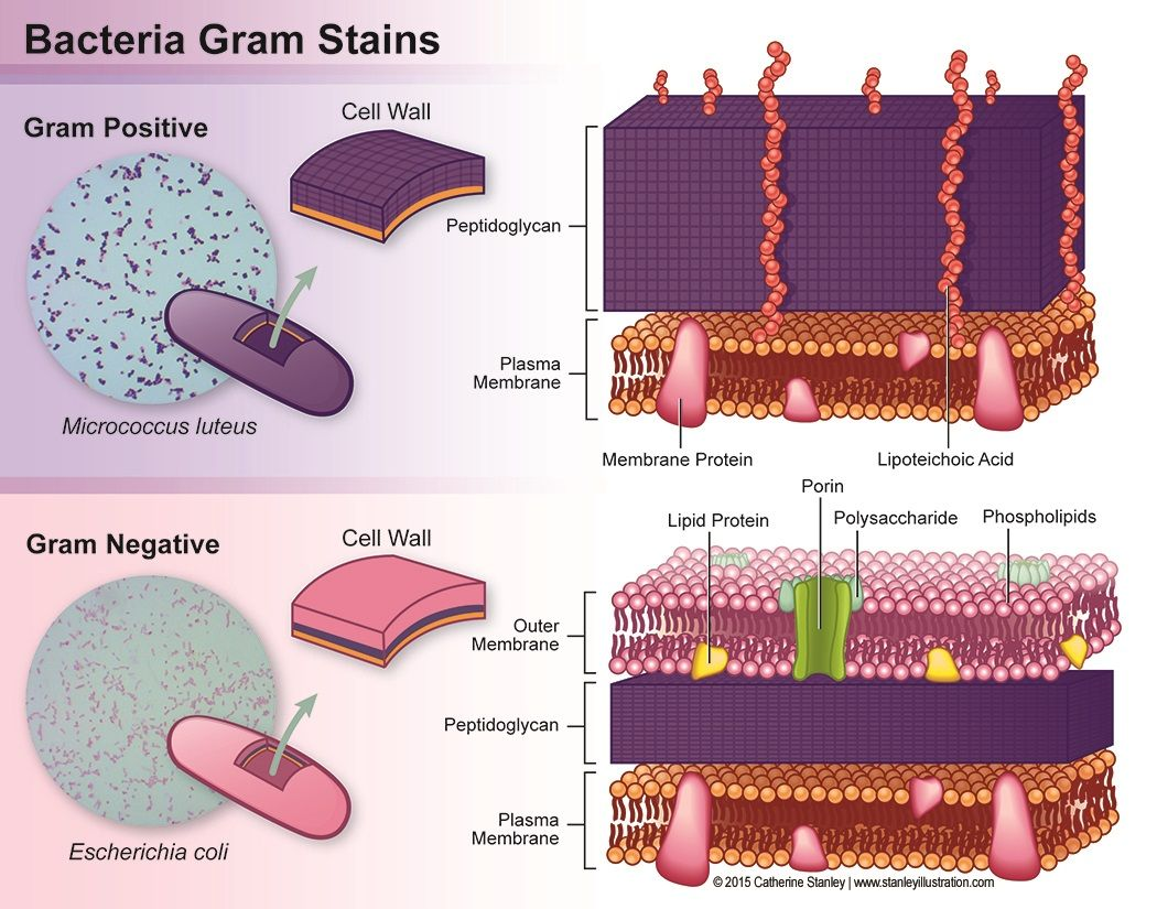 Bacteria Gram Stains Gram Positive Vs Gram Negative With