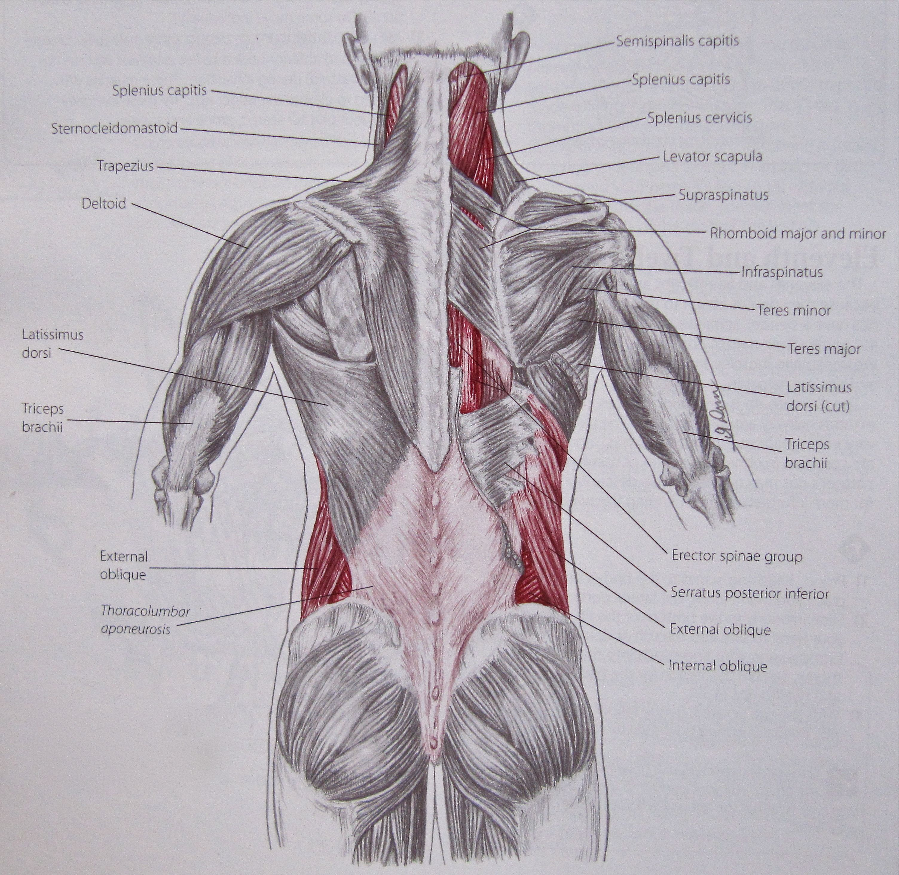 Notes On Anatomy And Physiology The Thoracolumbar Fascia Med Surg