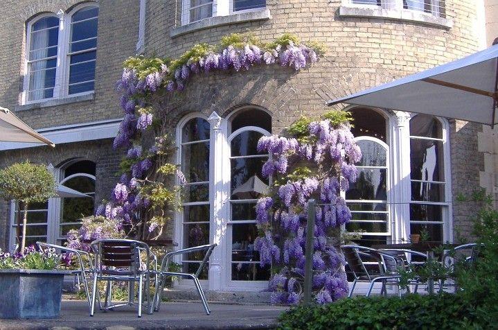 Wisteria In Full Bloom At Hotel Felix Cambridge