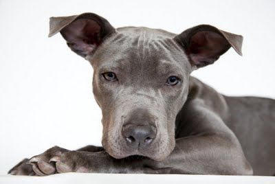 Blue Pit Bull Exactly What Blue Looked Like When He Was Little