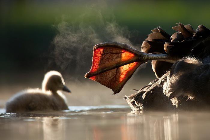 Black swan warming foot in the sun