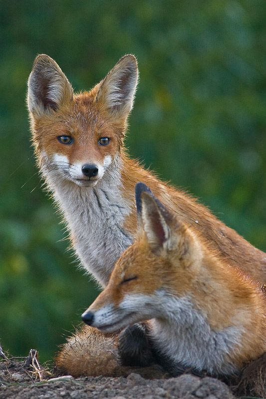 red foxes | animal + wildlife photography