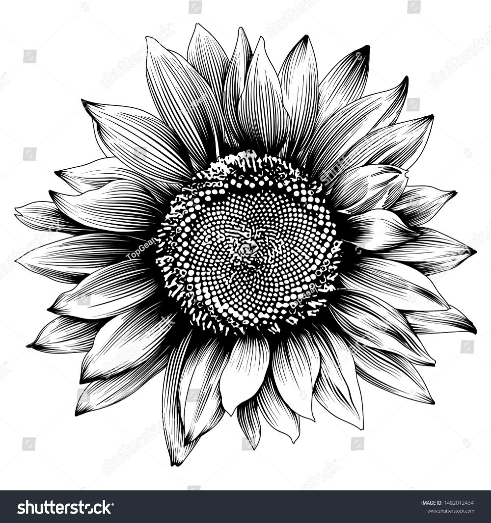 Стоковая векторная графика «Sunflower Illustration