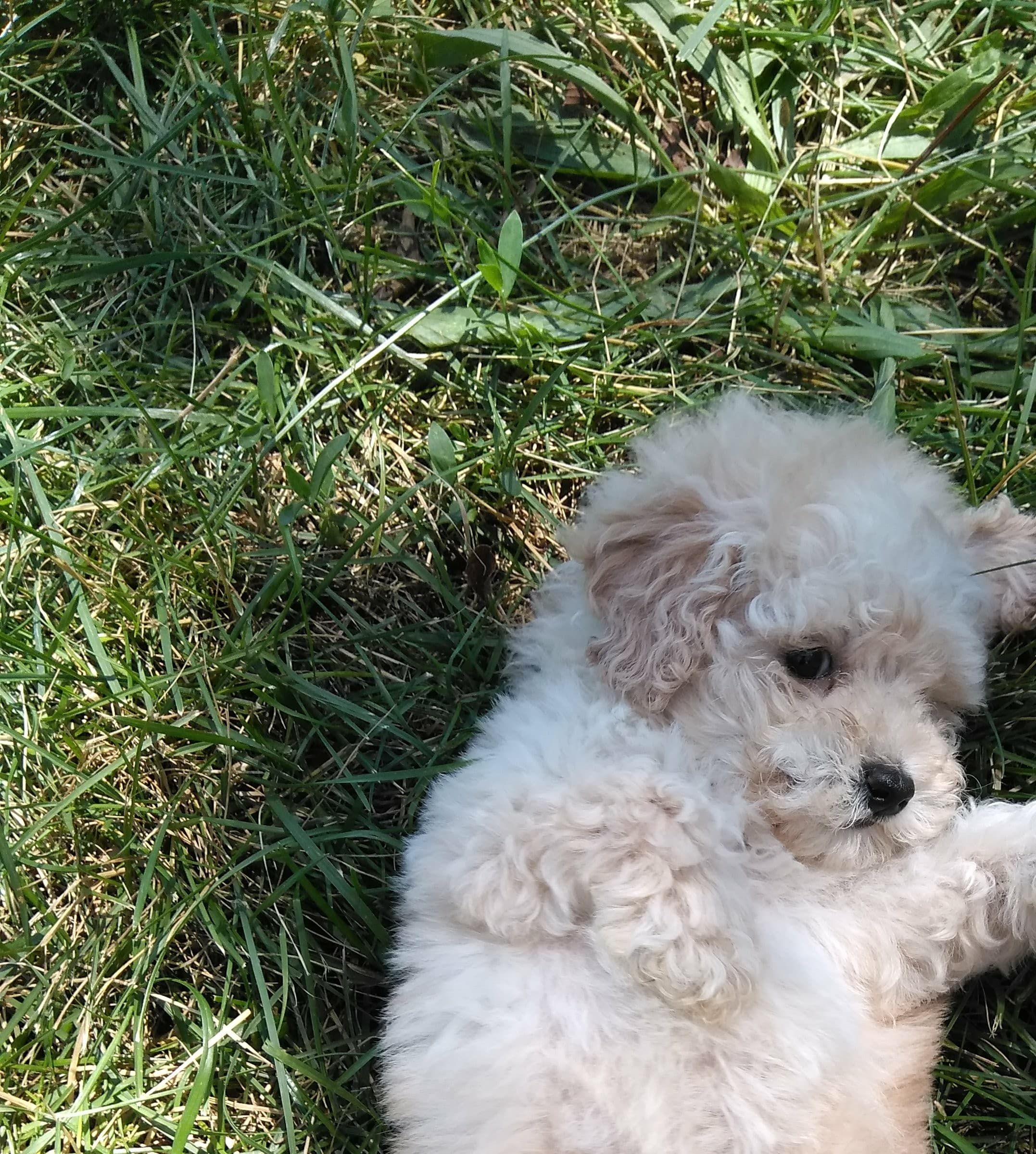 Maltipoo Puppies For Sale Oak Park Il Maltipoo Puppy Maltipoo Puppies For Sale Cute Dogs Breeds