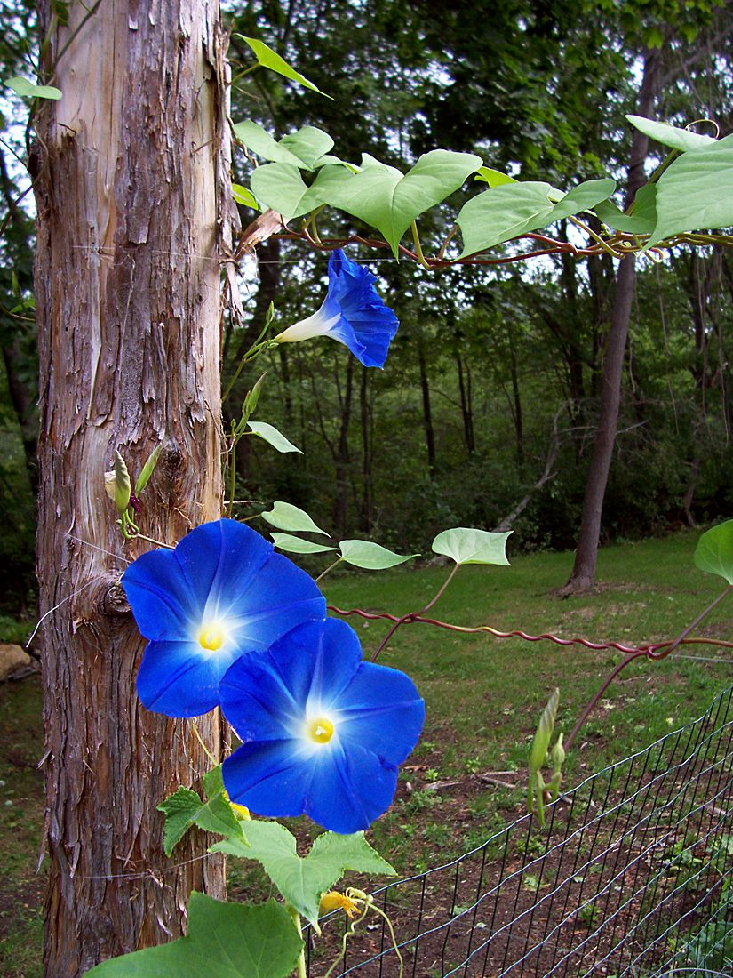 Casey Artandcolour The Pentagon In All It S Morning Glory Blue Morning Glory Morning Glory Flowers Morning Glory Vine
