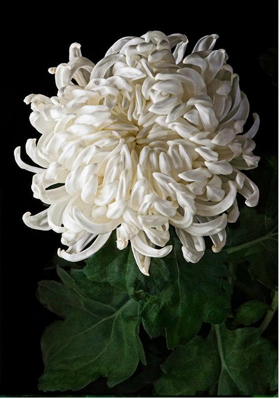 White Fuji Mum 1403 Fine Art Flower Photography Nature Photograph Wall Art Print Decorative Arts Floral Photography Flowers Photography Floral Art