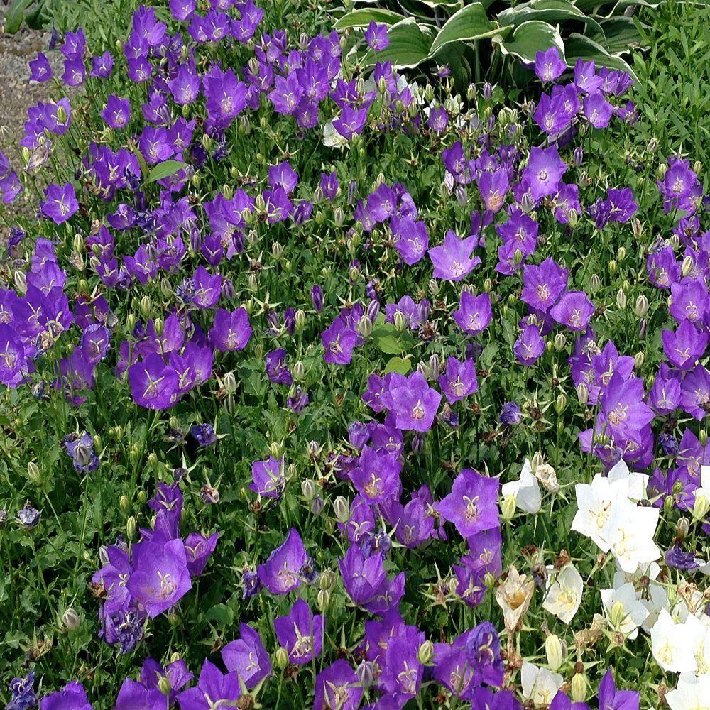 1 Gal Deep Blue Bellflower Plant Pinterest Deep Blue Plants