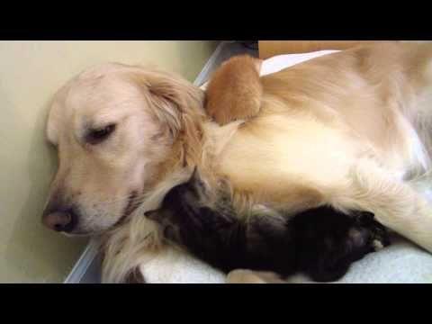 新米パパの子育て奮闘記!子猫のお父さんになったゴールデン(*´ ˘ `*) :: PECO [ペコ]|ペットとの毎日がもっと楽しくなる