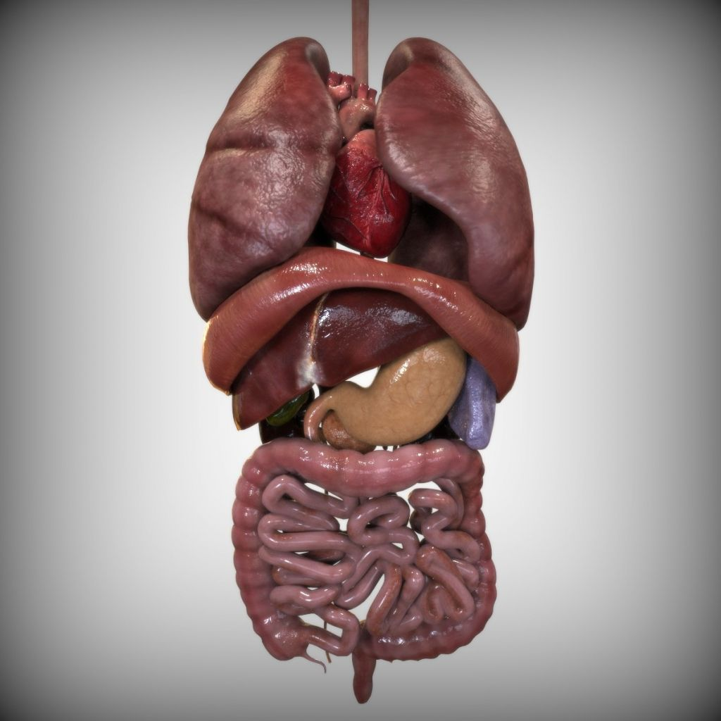 Image result for real human internal organs | The Art Book | Pinterest