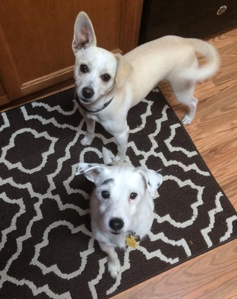 Abby and Archie.  Abby, Adoptable Terrier/Chihuahua | Georgia Jack Russell Rescue, Adoption & Sanctuary #cutest #jackrussell #terrier #dog #chihuahua #mix #rescue #puppy
