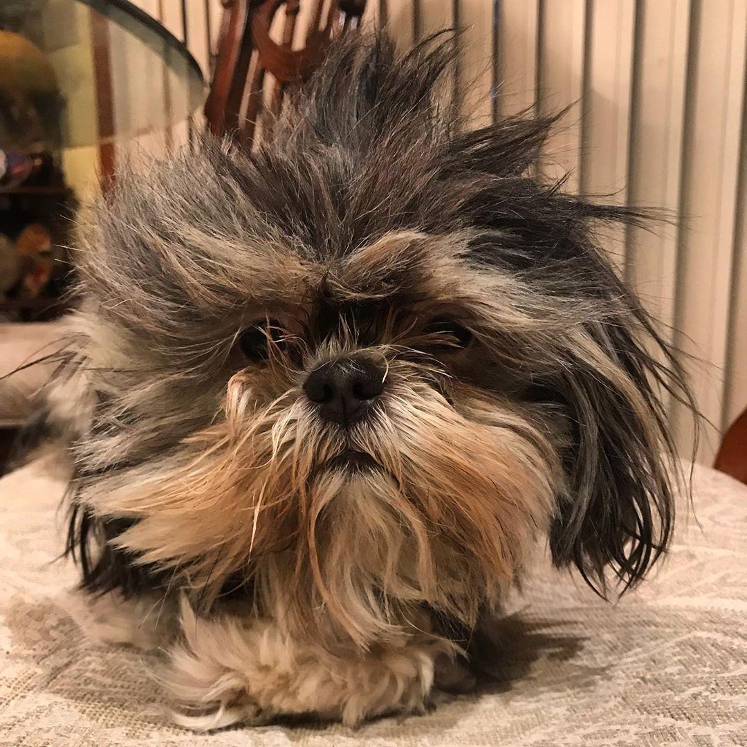 Help Shihtzu Shihtzusofinstagram Siopaotheshihtzu Dogsofinstagram Dog Bark Dog Shihtzulovers Shihtzunatio Fur Babies Shih Tzu Dog Barking