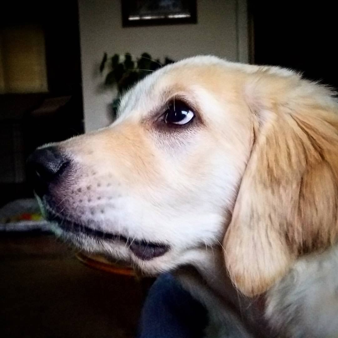 Pin By Hailey Isaacs On Copper Roo Retriever Labrador Dogs