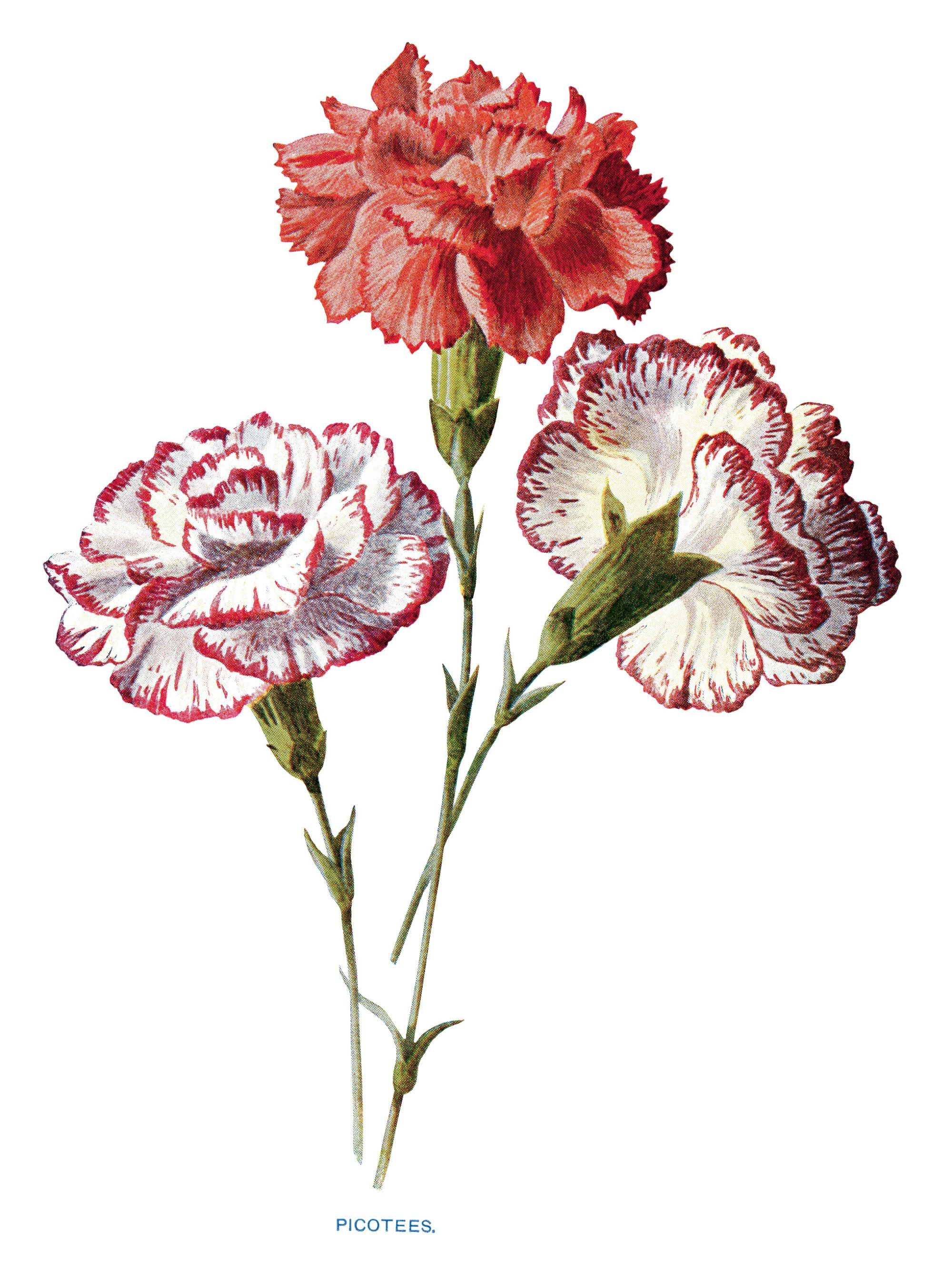 Free Vintage Carnation Clip Art Red White Picotees Flower