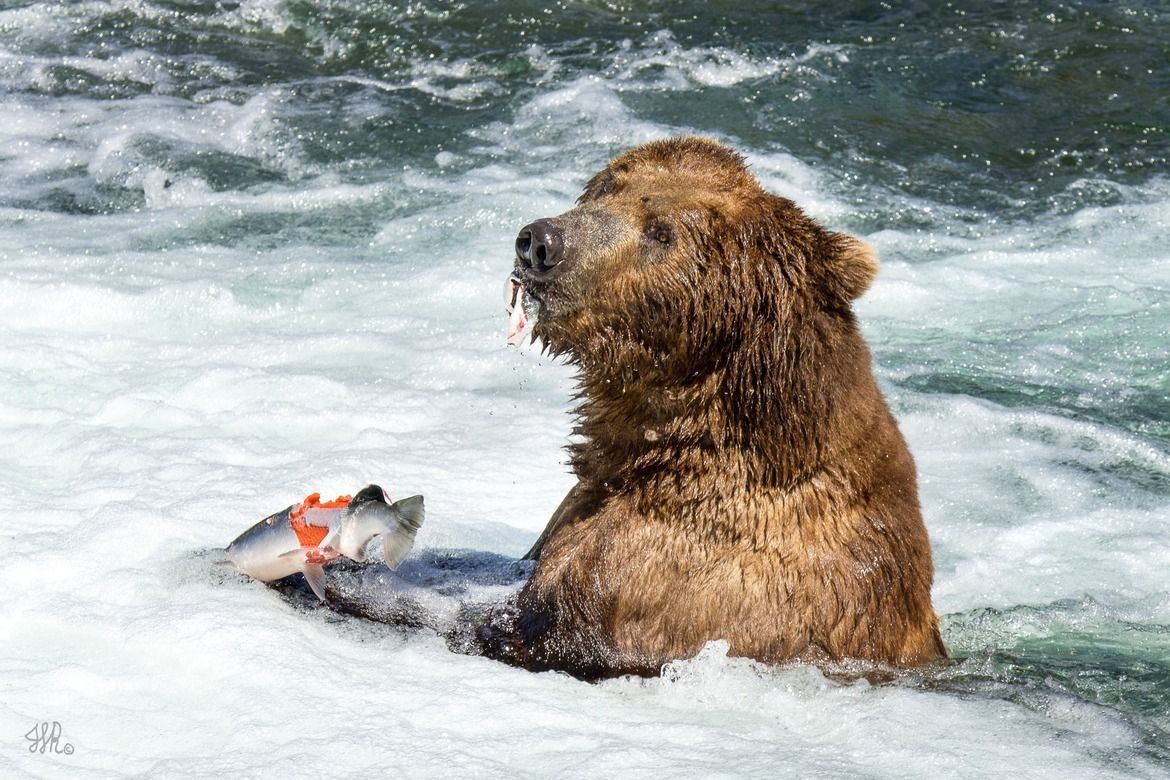 Katmai Grizzly Easting Fish Bear Fishing Grizzly Bear