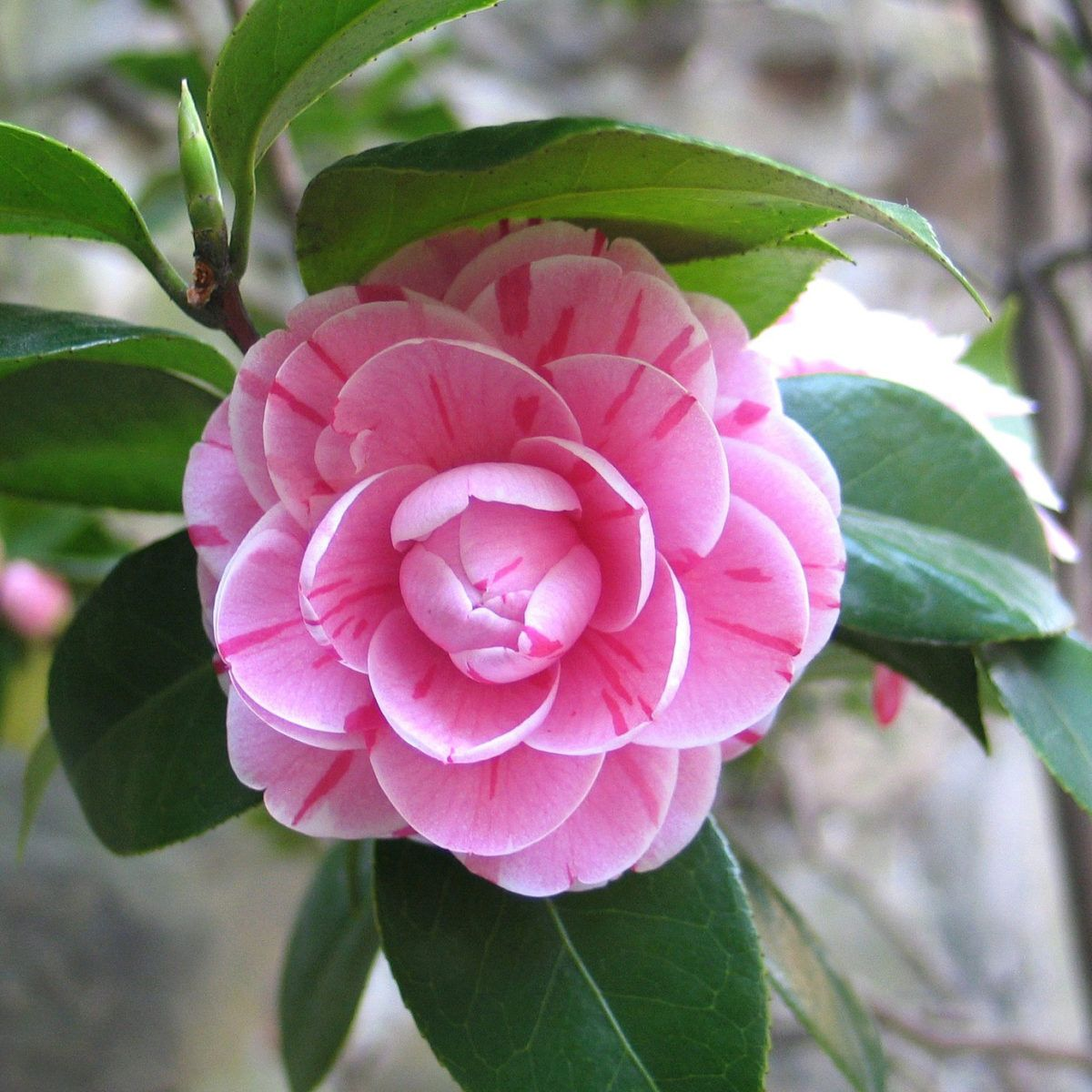 Perennials For Shady Spots In The Garden Shade Perennials Camellia Plant Types Of Flowers