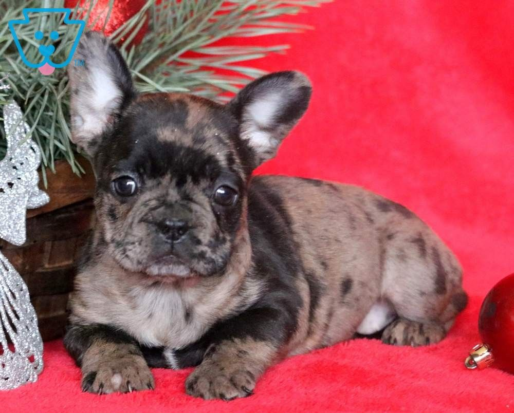Tinkerbell Bulldog Puppies For Sale French Bulldog Puppies