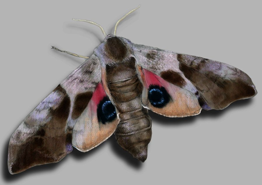Pin Von Mimi Scholer Auf Moth Kafer Insekt Schmetterling Insekten