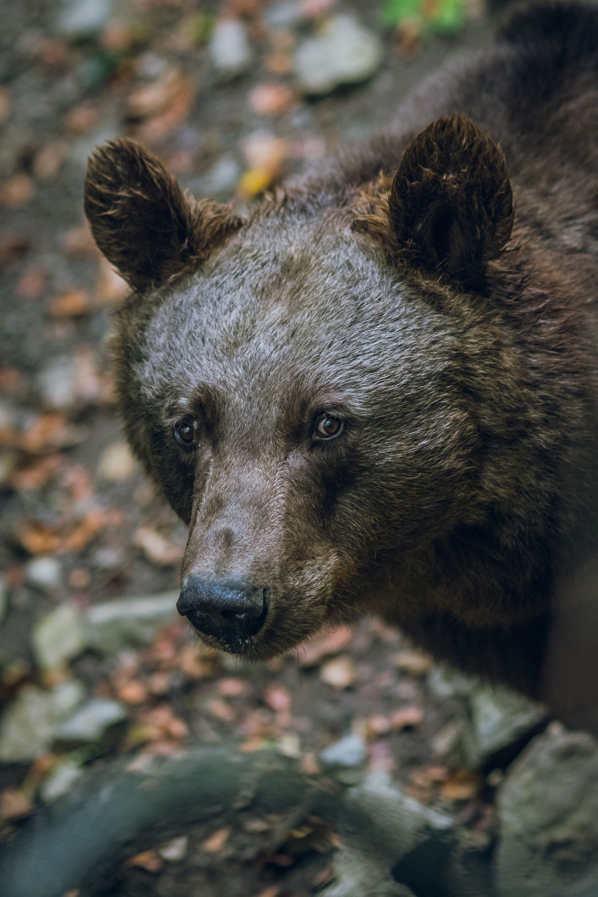 Bears Deer And Other Wildlife Come Out To Play In Yosemite National Park Due To A Lack Of Visitors In 2020 Black Bear Bear Bear Pictures