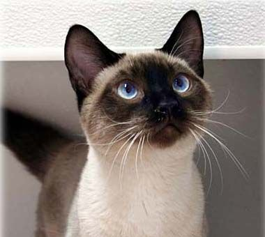 Chocolate Siamese Seal Point Siamese Cats Personality