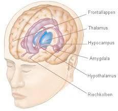 Bildergebnis für limbisches system