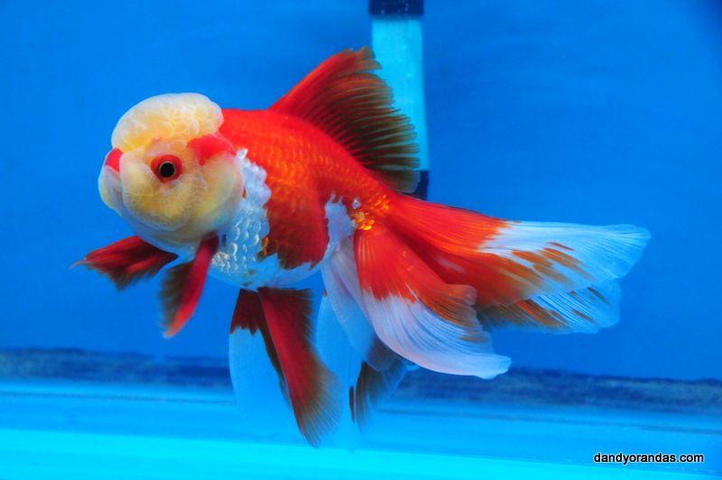 Red White Oranda Dandyorandas Com Oranda Goldfish Goldfish Freshwater Aquarium Fish