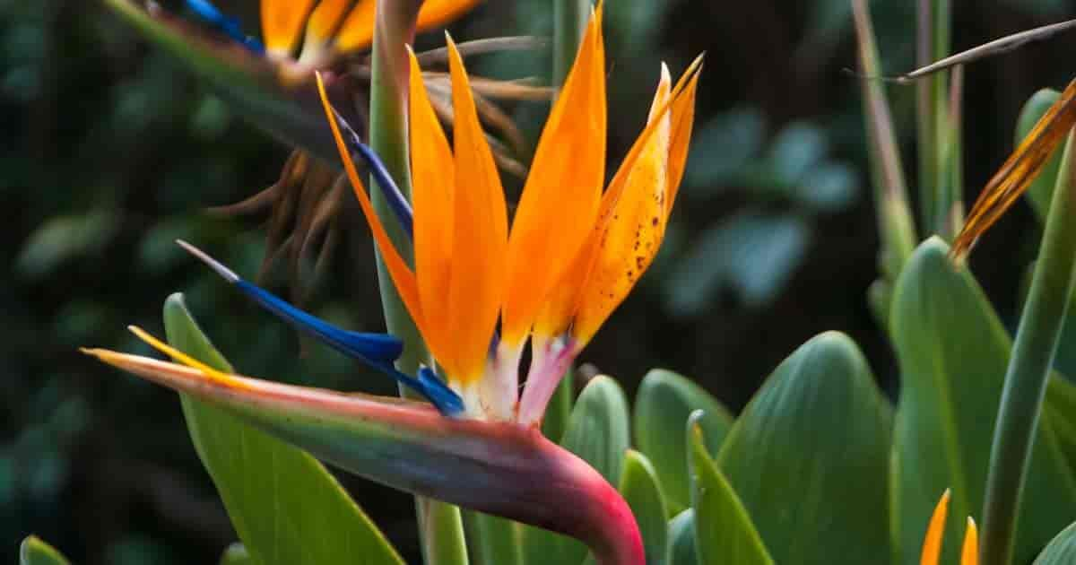 Bird Of Paradise Plant Care How To Grow Strelitzia Reginae Paradise Plant Birds Of Paradise Plant Plants