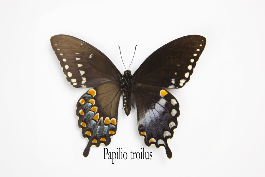 North American Spicebush Swallowtail Butterfly, Papilio troilus, photography by:  Darrell Gulin