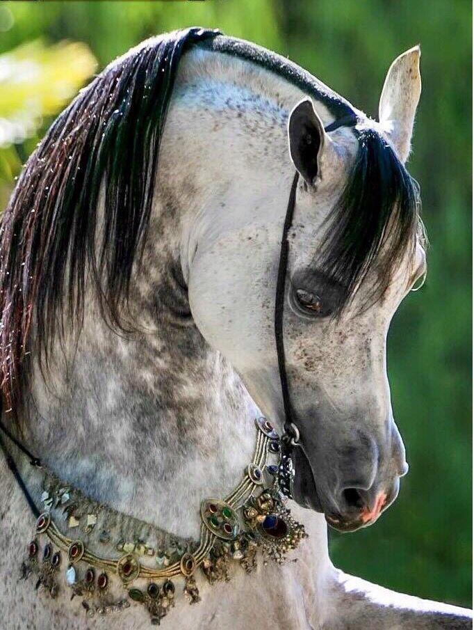 cheval arabe gris pommele