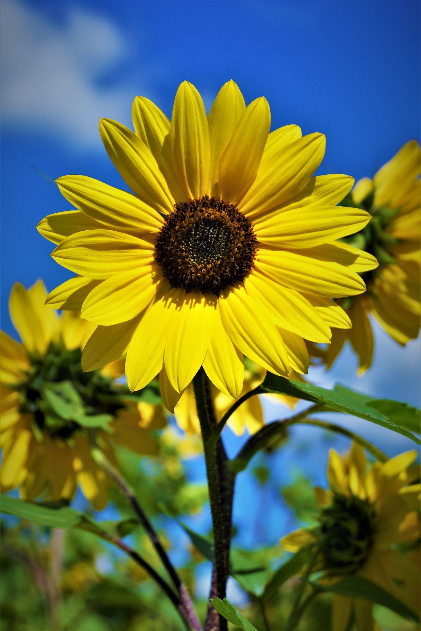 The Prettiest Sunflower Fields To Visit Across The U S Sunflower Field Near Me Sunflower Fields Sunflower