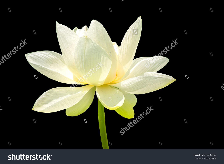 The Lotus Flowere Background Is Black Shutterstock Pinterest