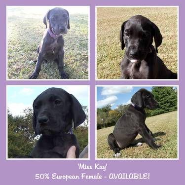 50 European Great Dane Puppy Miss Kay Female Great Dane
