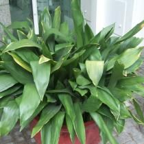 plante verte increvable