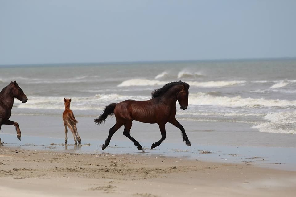 Photo Courtesy Of The Corolla Wild Horse Fund