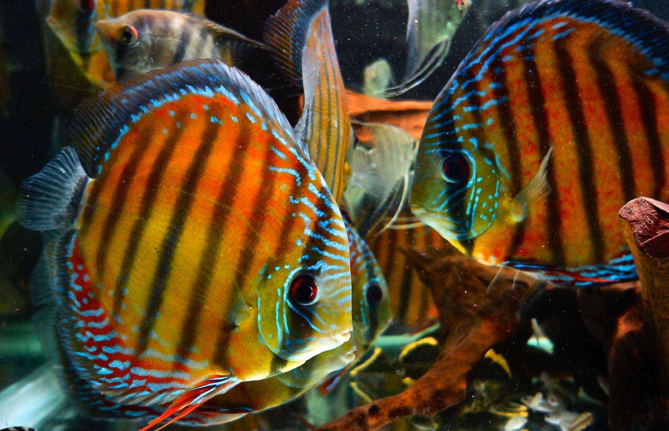 discus fish - Google Search