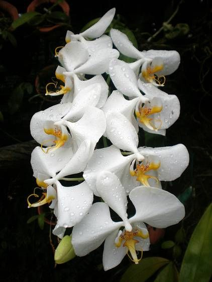 Moon Orchid Tree Directory Orchids Butterfly Plants Orchid Flower